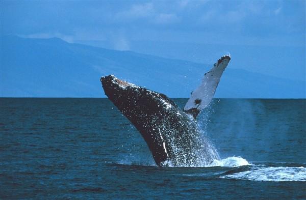 réchauffement climatique baleine